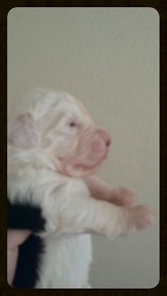 Old English Sheepdog puppy call or text 214-448-2888