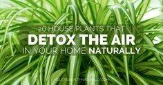 26 House Plants That Detox The Air In Your Home Naturally | holistichealthnaturally.com