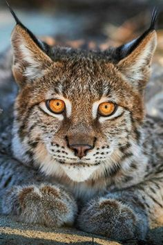 Big Cats, Cool Cats, Cats And Kittens, Nature Animals, Animals And Pets, Cute Animals, Beautiful Cats, Animals Beautiful, Lynx Du Canada