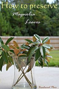 I have been preserving my magnolia leaves for about a week now. It's super easy! All you need is: Magnolia leaves/branches Glycerin Water Containers Hammer In… Magnolia Branch, Magnolia Wreath, Magnolia Leaves, Magnolia Centerpiece, Sweet Magnolia, Magnolia Flower, Diy Wreath, Wreath Crafts, Door Wreaths