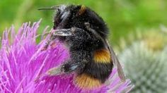 Neonic pesticide link to long-term wild bee decline - BBC News