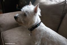 Hot Dogs All Dressed up Hydro collar..what a great collar!    www.PrestonSpeaks.com #dog #westie #pets