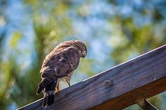 A Broad-winged Hawk looks back to give an icy stare as I take its picture, on a warm August day in North Western, Ontario, Canada. All Birds, Bird Art, Bald Eagle, Fine Art America, Wildlife, North Western, Wings, Raptors, Hawks