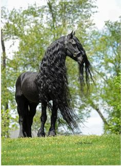 i love this picture!! horses are my favorite animals, especially black ones, and ESPECIALLY Freisans.