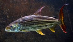 Hydrocynus vittatus. Castelnau, 1861 Fisher, African Tiger, Tiger Fish, Aquatic Ecosystem, Monster Fishing, Cichlids, Aquarium Fish, Marine Life, Fish Tank