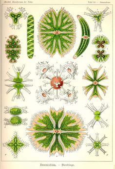 Kunstformen der Natur Tafel 24 - Staurastrum