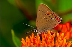 Kentucky Native Plant and Wildlife: butterfly milkweed