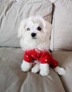 kombinezon (jumpsuit) Deep Love, Little puppy is wearing size XS Deep Love, Little Puppies, Maltese, Jumpsuit, Etsy, Doggies, Overalls, Monkeys, Tiny Puppies