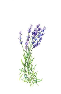 ON SALE Lavender Botanical Print by WatercolorsByMonika on Etsy, $18.75