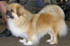 a tibetan spaniel -my sweet Matias looks just like this one