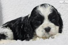 Meet Black and White Part a cute Cocker Spaniel puppy for sale for $700. Black and White Parti