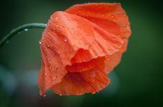 Wet poppy 2