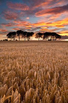 Barley Field Sunset Fauldiehill, Angus, Scotland