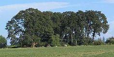 Quercus garryana - Wikipedia, the free encyclopedia