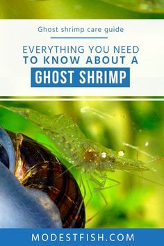 Read on this article, everything you need to know about a Ghost shrimp. Covers topics such as how to set up a ghost shrimp tank, diet & feeding, tank mate for ghost shrimp and how to breed Ghost shrimp. Pet Shrimp, Shrimp Tank, Aquarium Fish Tank, Planted Aquarium, Glass Shrimp, What Is Ghosting, Tanked Aquariums, Fish Aquariums, Goldfish Tank