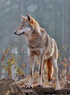 Wolf by michaelmaxbender