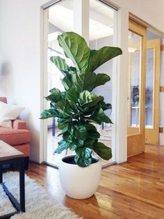 Fiddle Leaf Fig Tree from The Sill for PureWow's NYC office! Fiddle Leaf Fig Tree from The Sill for PureWow's NYC office! Indoor Plants, Plant Life, Decor, Natural Home Decor, Home And Garden, Ficus, Ficus Lyrata, Plant Decor
