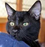 dam is a male domestic shorthair who is about 5 months old. He and his brothers were found in a dumpster, brought to CARA, and bottle fed by one of our best kitty fosters. Adam loves children, other cats and dogs. He would be a perfect family member.