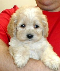 Image result for cockapoo puppies