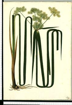 [Torulinium odoratum (L.C. Rich.) Hooper]