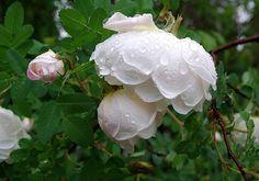 Juhannusruusu, Rosa pimpinellifolia