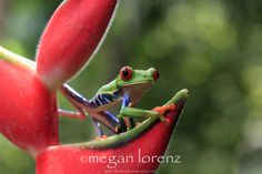 Ribbit in the Rainforest by Megan Lorenz  Costa Rica