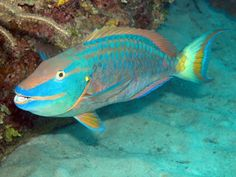 Image detail for -Parrot Fish