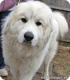Pictures of Buddy in OH - new! a Great Pyrenees for adoption in Beacon, NY who needs a loving home.