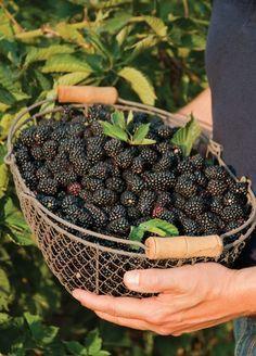 Good tips for growing blueberries, blackberries, and raspberries. #organic #gardening