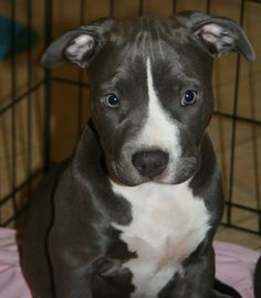 Sharky Male ( Brooklyn's pup ) | A community of Pit Bull lovers!