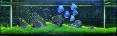 Discus Tank, Discus Aquarium, Aquarium Set, Discus Fish, Nature Aquarium, Aquarium Design, Aquarium Fish Tank, Planted Aquarium, Freshwater Aquarium