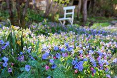 Pulmonaria at the Blueberry path in spring - Lindas trädgårdsblogg