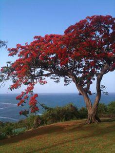 Soy yo, o los flamboyanes este año estan floreciendo con colores BIEN ... Beautiful Nature Pictures, Amazing Nature, Beautiful Landscapes, Delonix Regia, Trees And Shrubs, Flowering Trees, Puerto Rico, Flame Tree, Japanese Tree