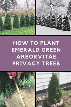 How to plant Emerald Green Arborvitae privacy trees (distance, etc) Arborvitae Landscaping, Privacy Landscaping, Landscaping Tips, Front Yard Landscaping, Landscaping With Trees, Landscaping Borders, Landscaping Equipment, Hydrangea Landscaping, Gardens