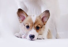 12 Things Only Corgi Pup Parents Understand