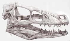 Velociraptor Mongoliensis by ~damie-m on deviantART Animal Skeletons, Animal Skulls, Tattoo Drawings, Cool Drawings, Tattoo Art, Animal Skull Drawing, Velociraptor Dinosaur, Skull Sketch, Les Reptiles