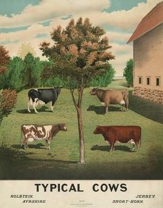 Is any cow a typical cow? Published by Nature & Method Publishing Company in this educational illustration depicts four common dairy cows of the time: Holstein, Ayrshire, Jersey, and shorthorn. Vintage Farm, Vintage Style, Vintage Country, Vintage Ephemera, Gado, Cow Art, Decoration Design, E Bay, Vintage Advertisements