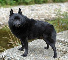 204 Best Schipperke Puppies Images Schipperke Puppies Doggies Dogs