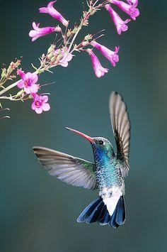 Broad-billed Hummingbird Greeting Card for Sale by Gerald C. Hummingbird Pictures, Hummingbird Flowers, Hummingbird Nectar, Hummingbird Food, Hummingbird Garden, Hummingbird Painting, Hummingbird Tattoo, Pretty Birds, Beautiful Birds