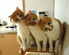 Cats and kittens are the funniest animals on Earth. They always make us laugh! Just look how all these cats & kittens play, fail, get along with dogs, make Funny Animals, Cute Animals, Video Chat, Three Cats, Photo Chat, Orange Cats, Cute Cats And Kittens, Silly Cats, Funny Kitties