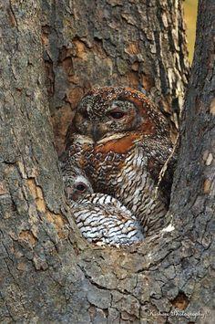 Mottled Wood Owl.