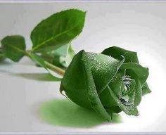 Wow! Awesome Rare green Rose! ♥ Share if you like it! | See More Pictures | #SeeMorePictures
