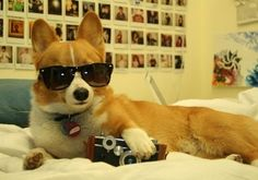 Even hipsters need saving sometimes, and this corgi was right on the scene to help out when needed.