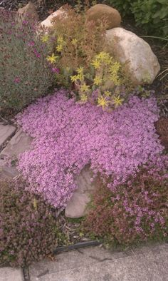 """Creeping thyme  Height 1-2"""", Spread 12-18"""""""