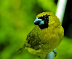 Yellow-green grosbeak bird.
