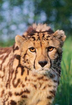 King cheetah (Acinonyx jubatus) Africa / Terry Whittaker Photography