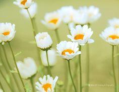 Photo white daisies by Mariló Irimia on 500px