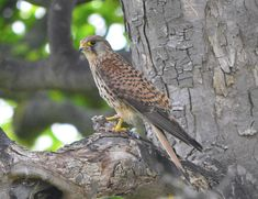 https://flic.kr/p/vg6zRB | Kestrel   Falco Tinnunculus | I would like to thank everyone who take the time to view and comment on my photographs it is greatly appreciated and encouraging