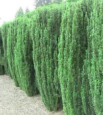 Japanese Sky Pencil Holly, evergreen Live Starter Plant, Landscaping, Hedges Habit: Tall, multistemmed, narrowly fastigiate, evergreen shrub.  Landscape Use: Effective as a single specimen; dense, narrow hedge; mixed with other evergreen and deciduous plants.