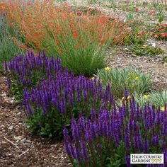 HBLN551, Salvia sylvestris 'Little Night' PPAF, Little Night European Sage